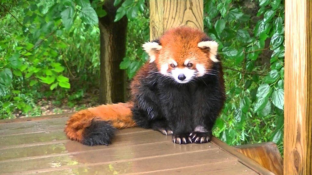 Baby Red Panda Skin